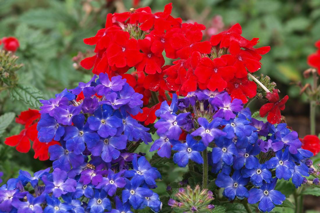 Сине-красные цветы